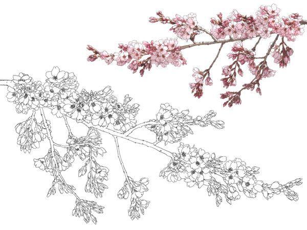 樱花简笔画图片大全图片