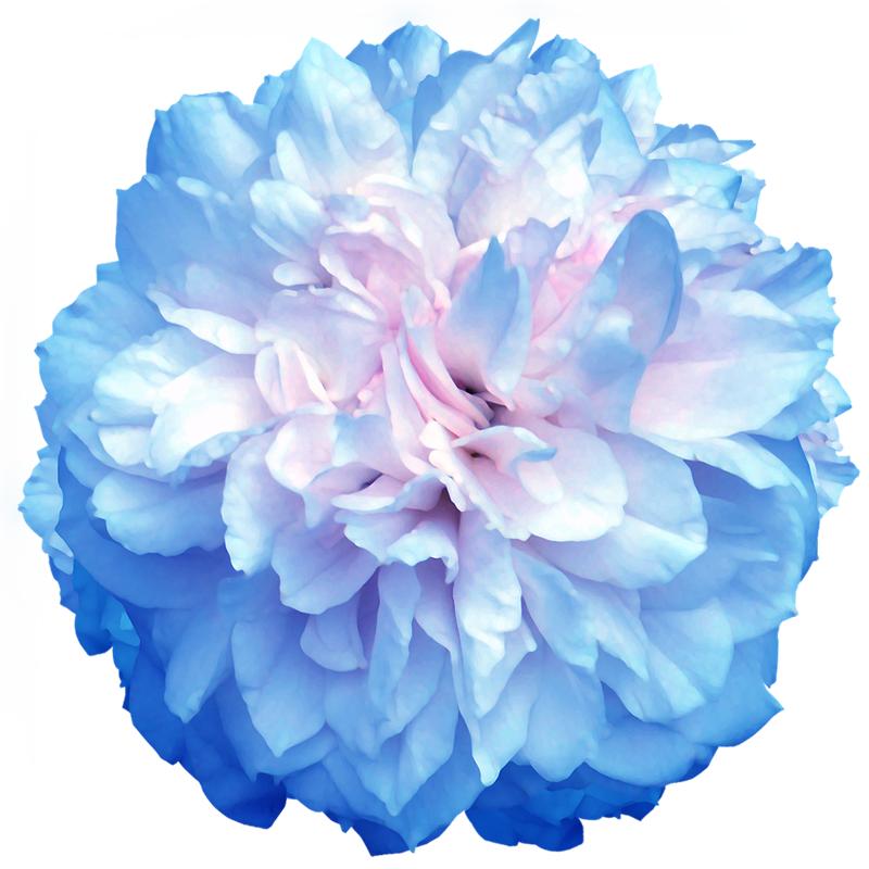写真花卉素材(png大图)