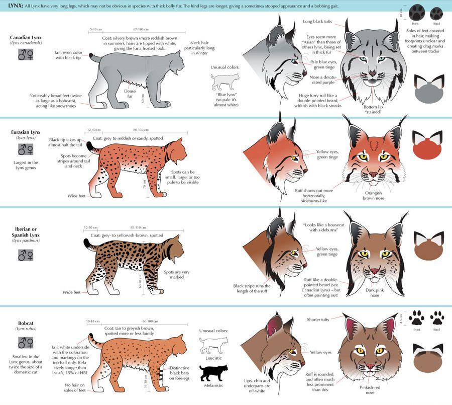 猫科动物图鉴 - 优动漫