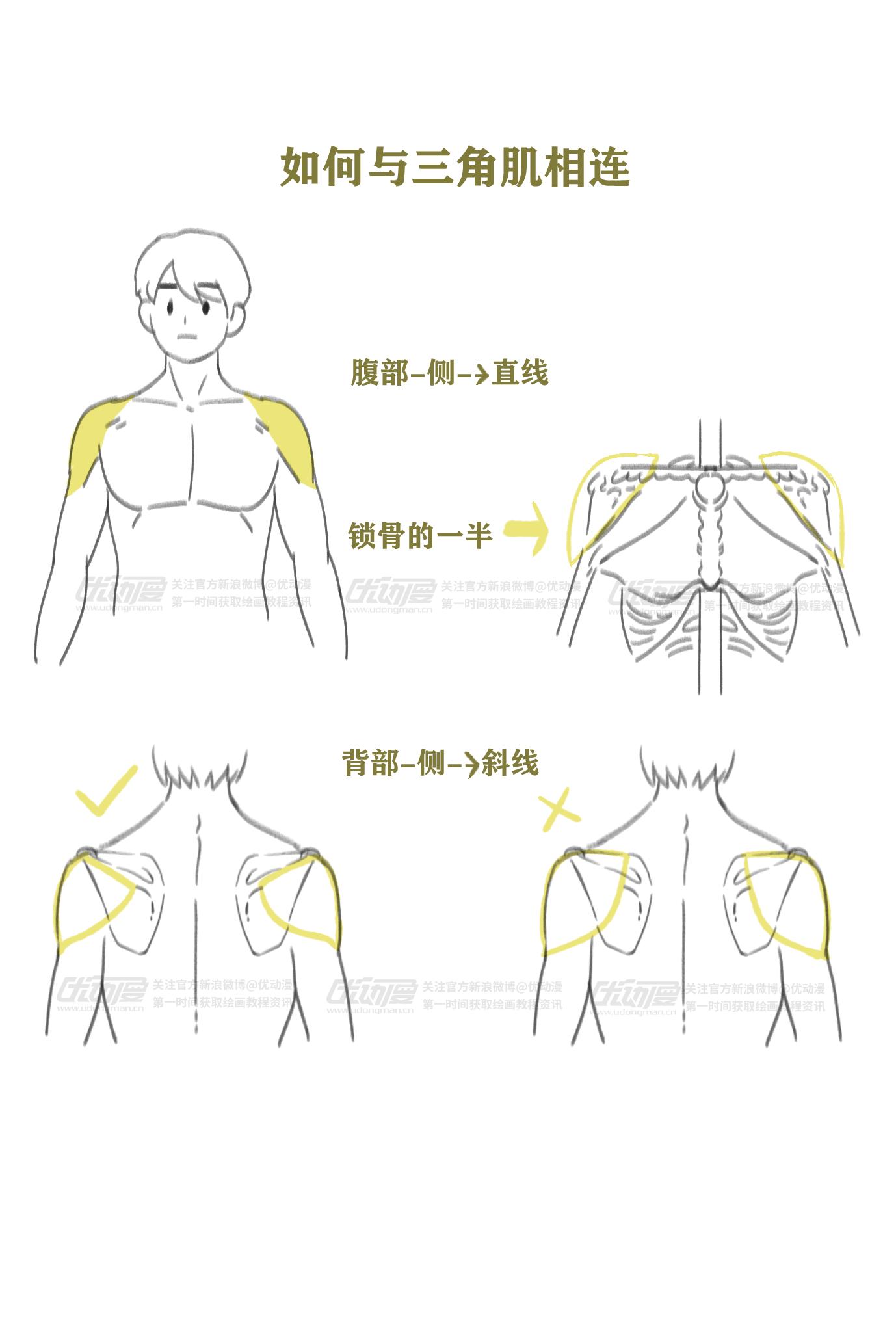 肌肉的绘制教程3.png